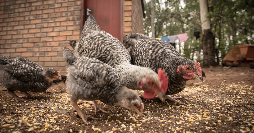 Project looks at links between poultry and antimicrobial resistance