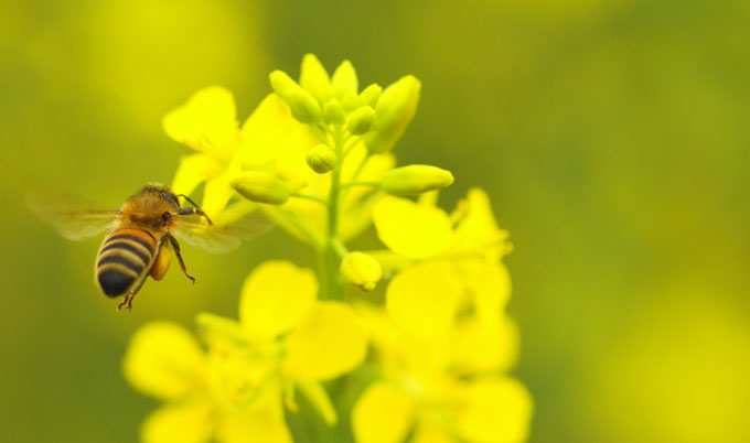 Oilseed rape varieties with pollinator-friendly traits