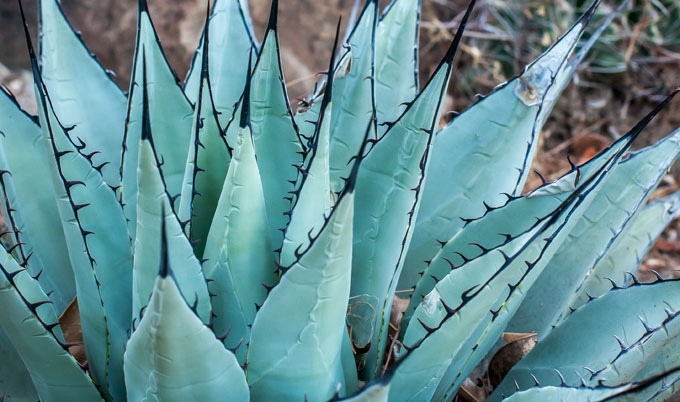 Blue agave which forms the base ingredient for Tequila