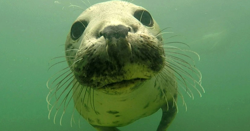 Comment: Grey seals discovered clapping underwater to communicate
