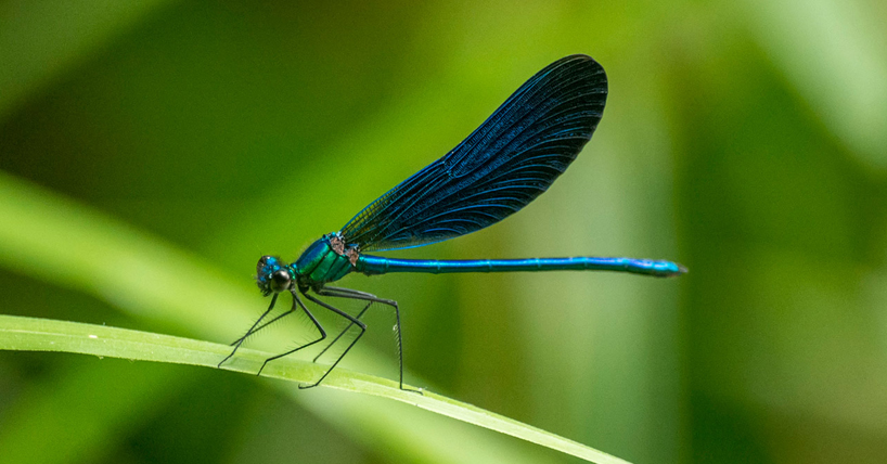 Photograph of a blue dragonfly resting on a blade