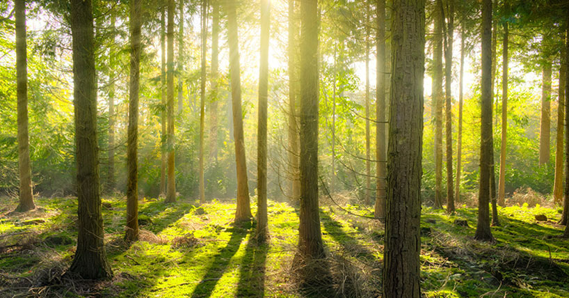 Forest with sunlight streaming through the trees